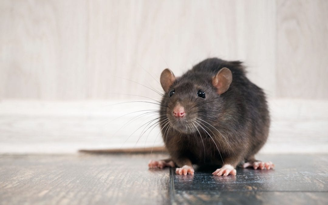 Are there any signs of rats in your house?