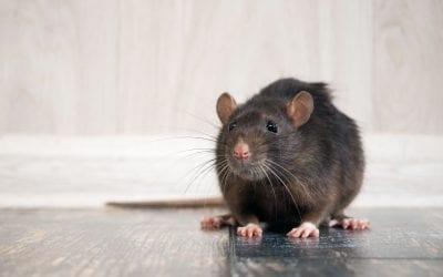 Tegn på rotter hjemme hos dig?
