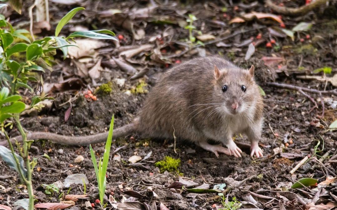 Sådan finder du tegn på rotter
