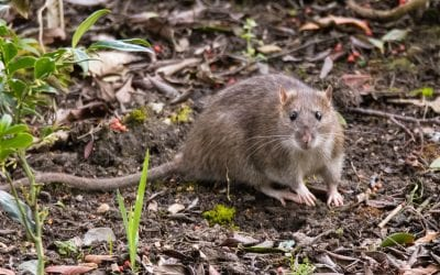 How to find signs of rats